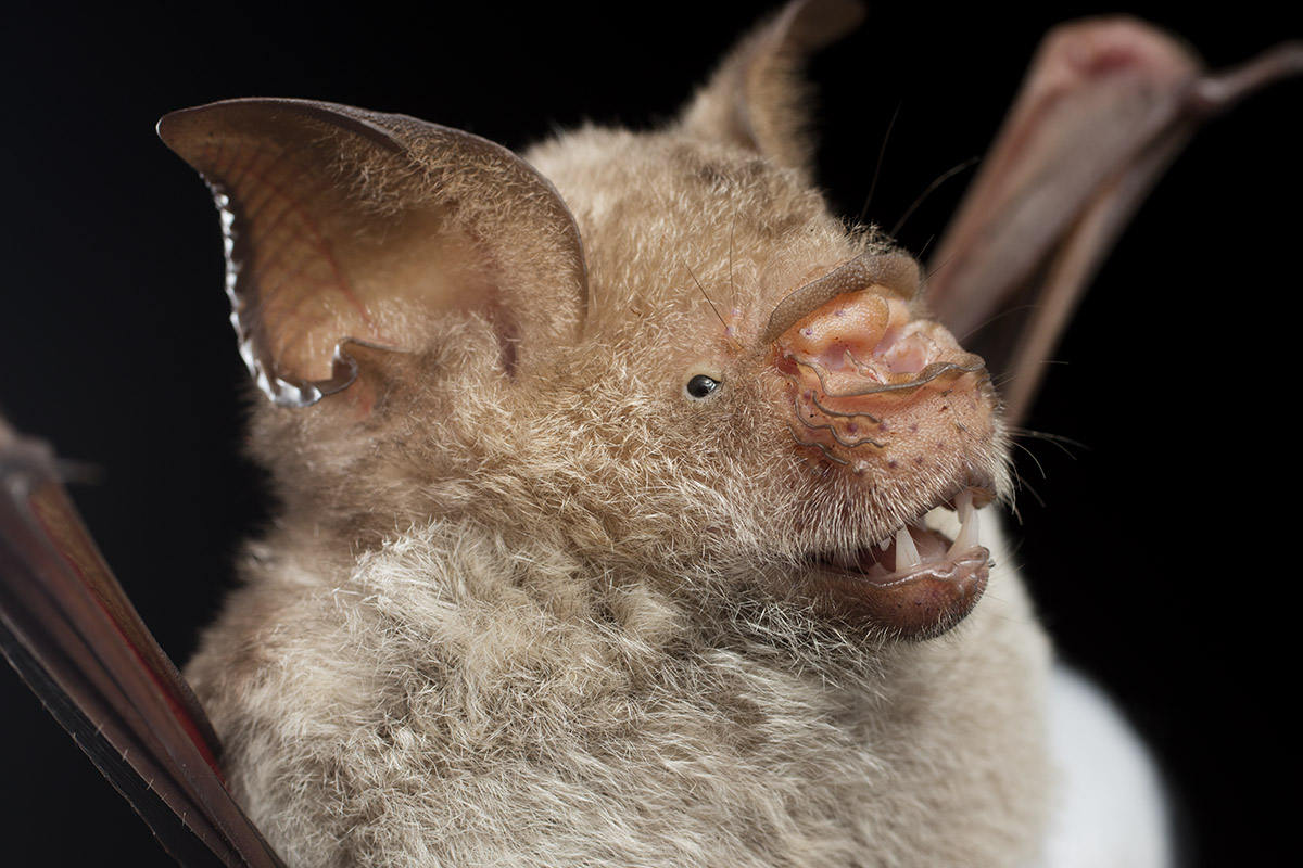 Chiroptera (Bats): Hipposideridae