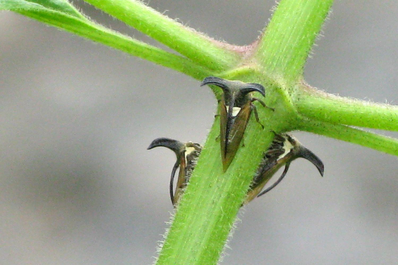 Hemiptera (True Bugs): Cicadidae