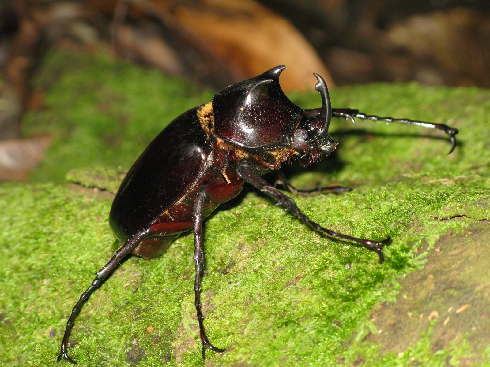 Coleoptera (Beetles): Scarabaeidae