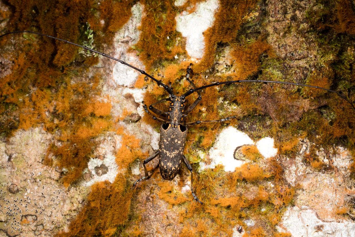 Coleoptera (Beetles): Cerambycidae