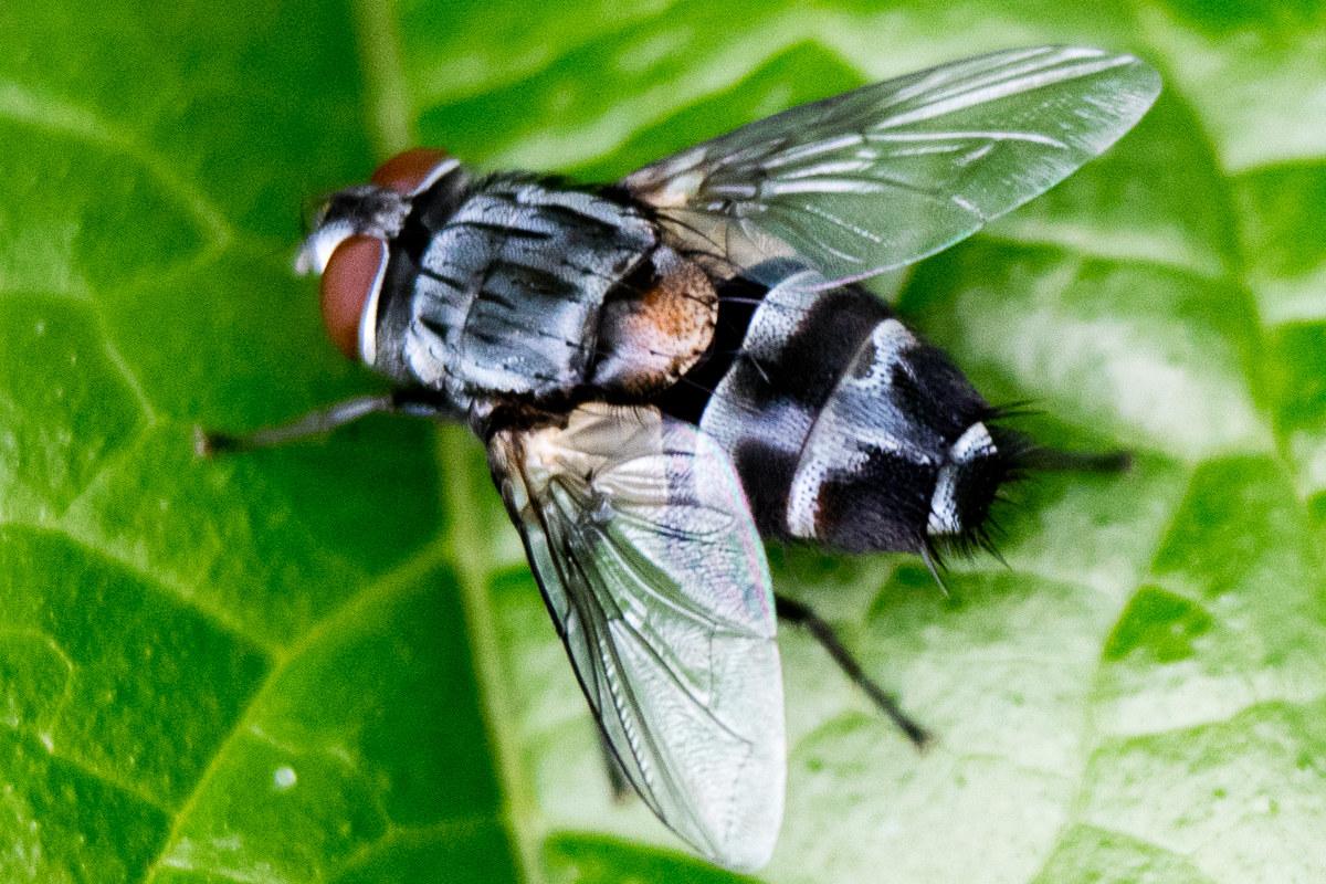 Diptera (True Flies): Tachinidae