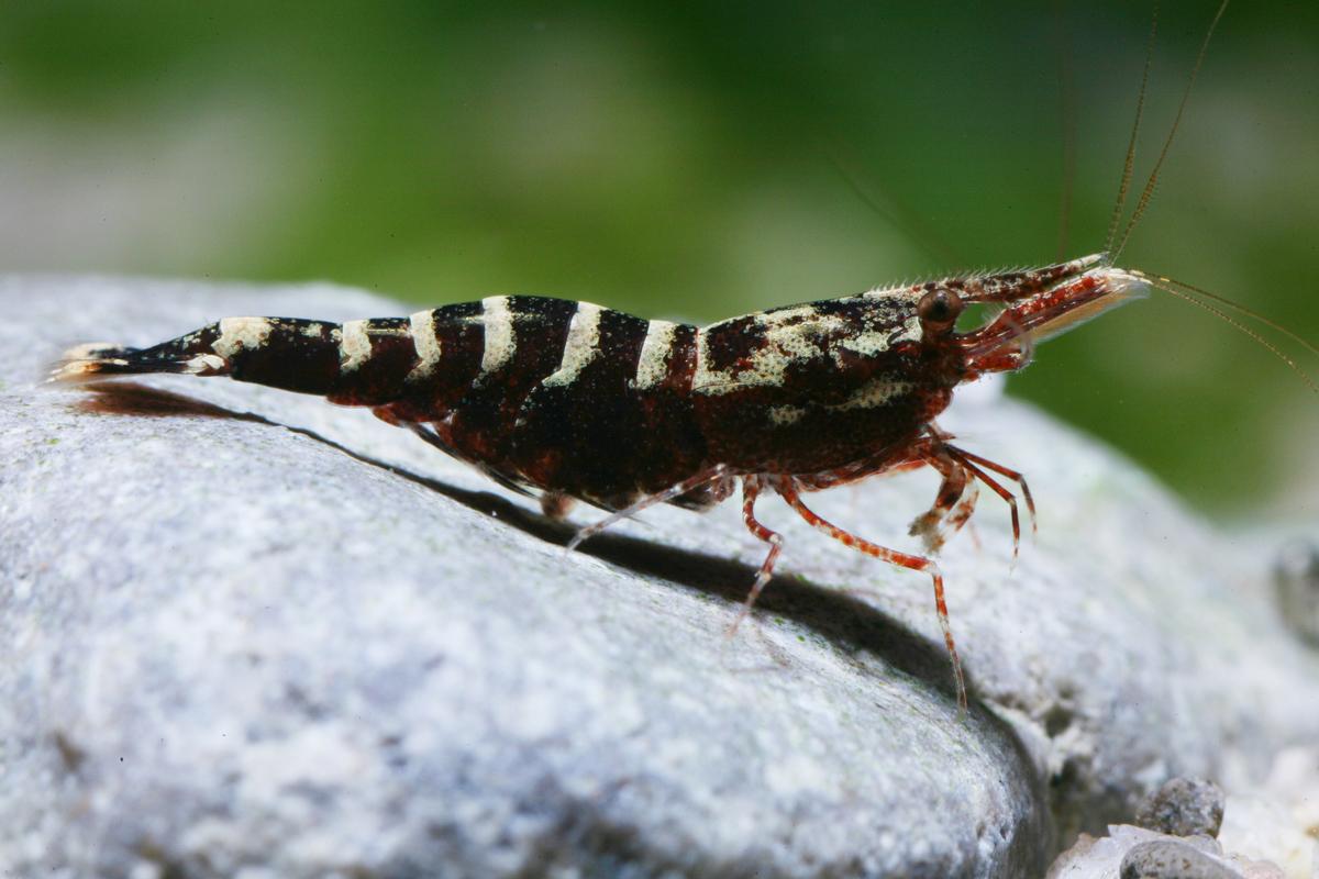 Caridina holthuisi (shrimp species, Sulawesi lakes)
