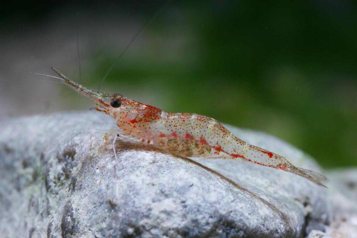 Caridina lanceolata (shrimp species, Sulawesi lakes)