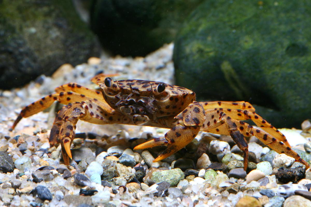 Parathelphusa pantherina (crab species, Sulawesi lakes)
