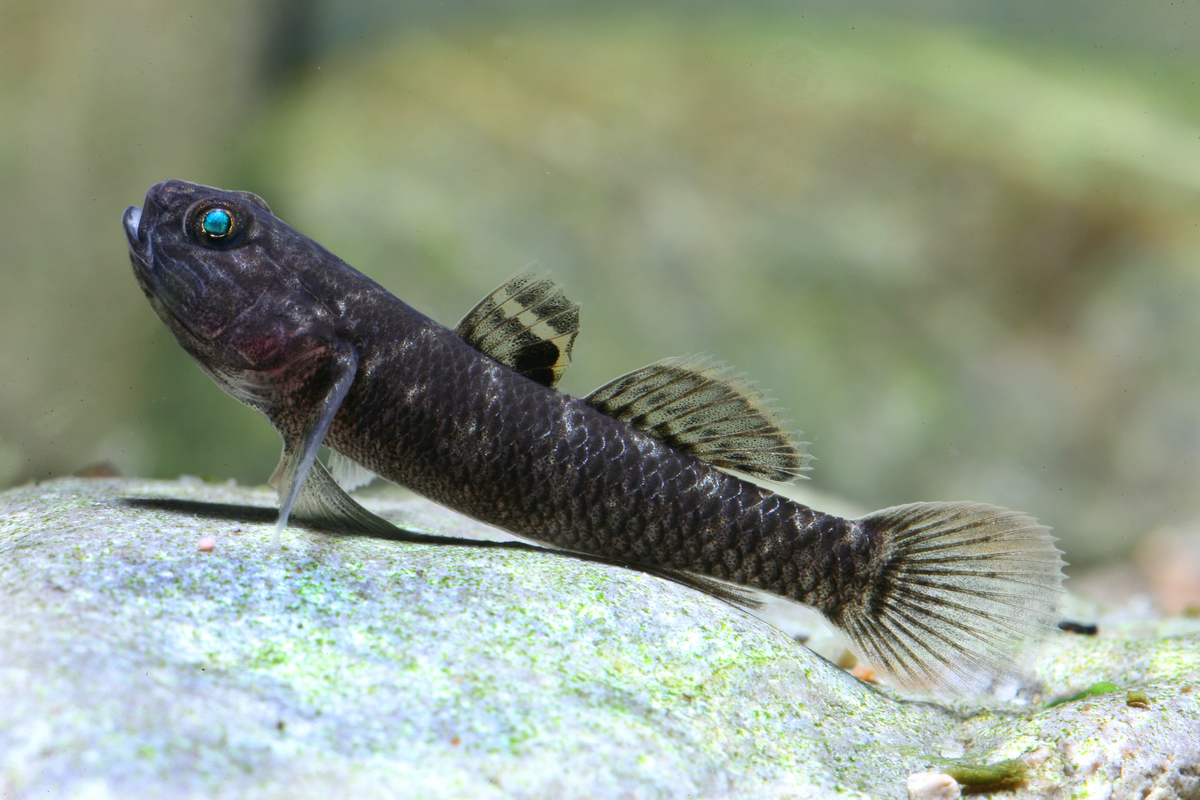Mugilogobius latifrons (fish species, Sulawesi lakes)