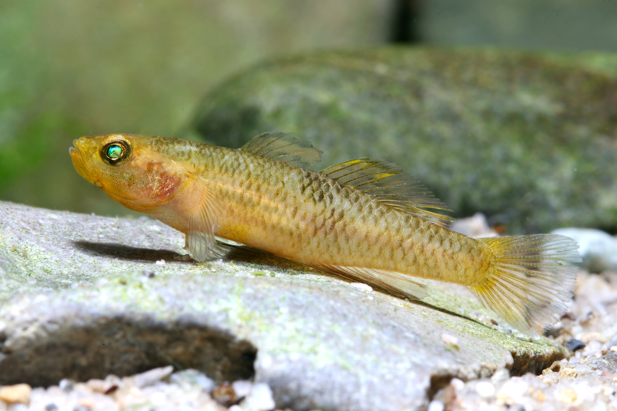 Mugilogobius rexi (fish species, Sulawesi lakes)