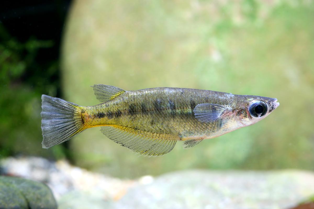 Oryzias sp. (fish species, Sulawesi lakes)