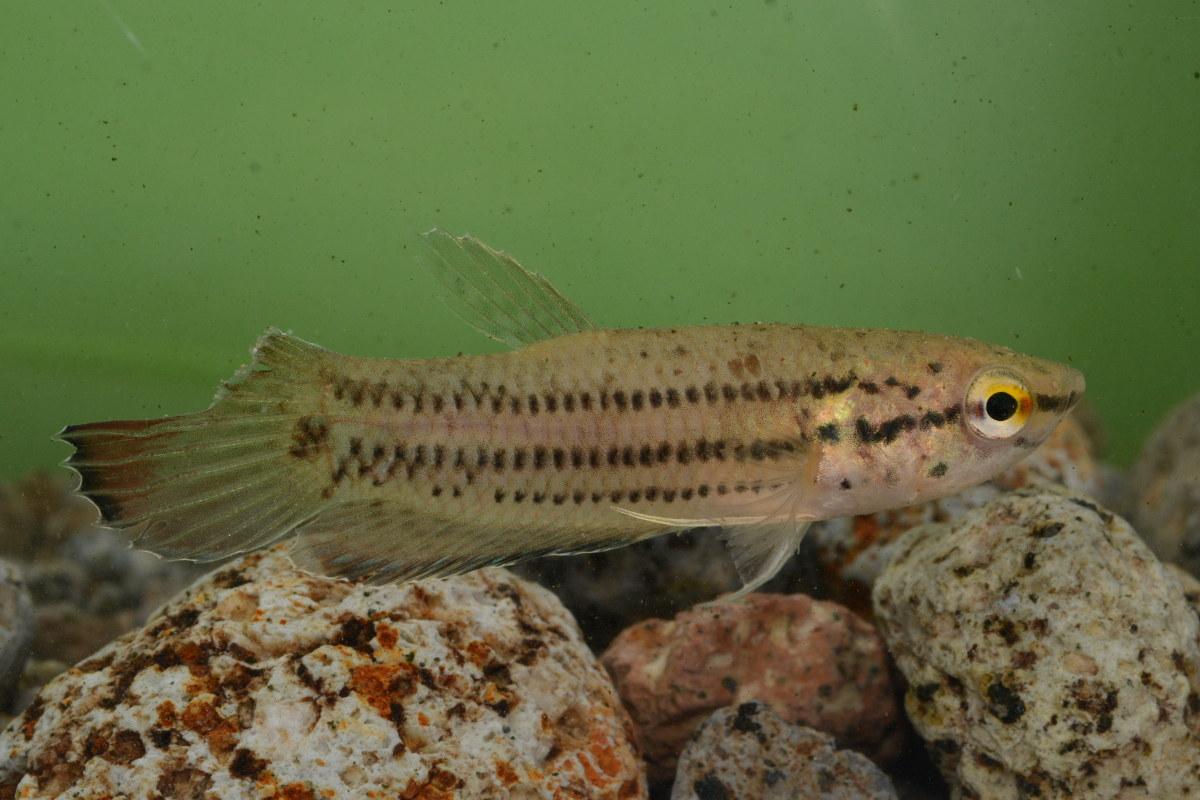 Betta picta (fish species)