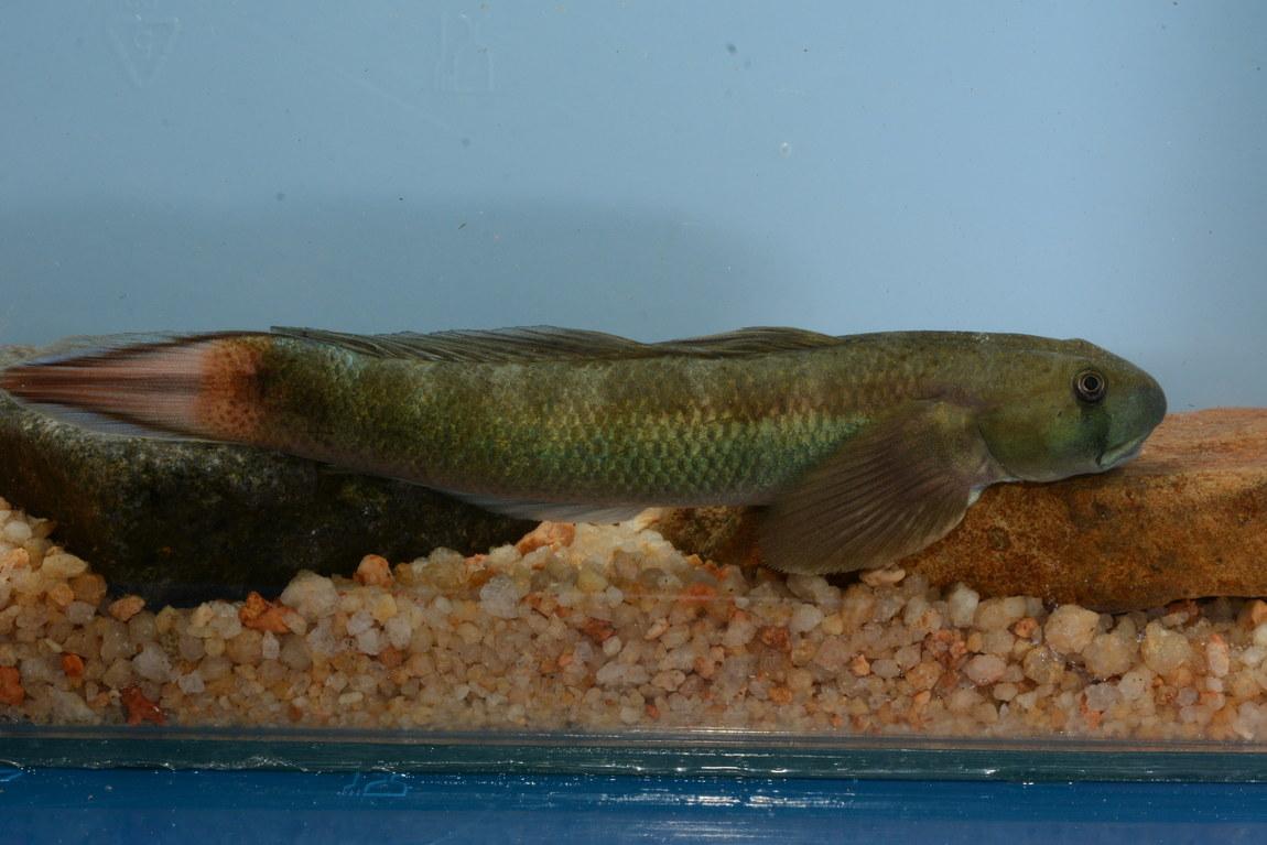 Sicyopterus macrostetholepis (fish species)