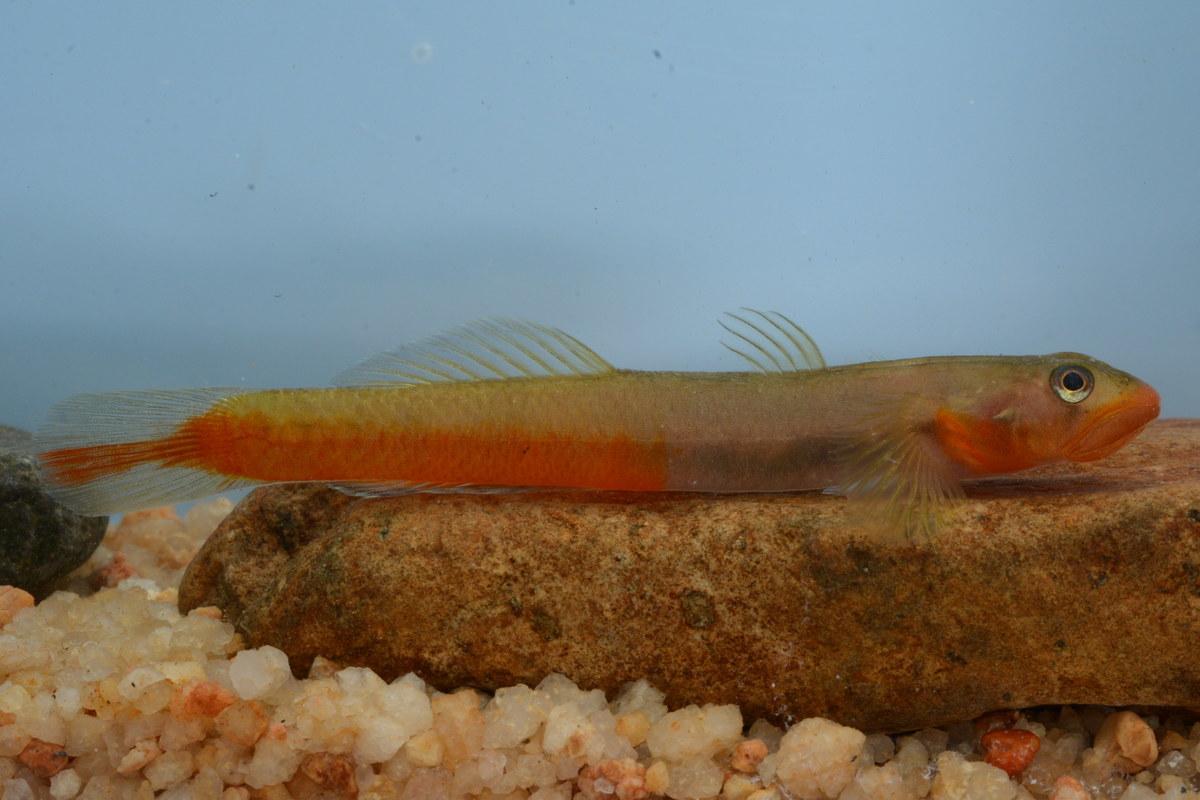 Sicyopus rubicundus (fish species)