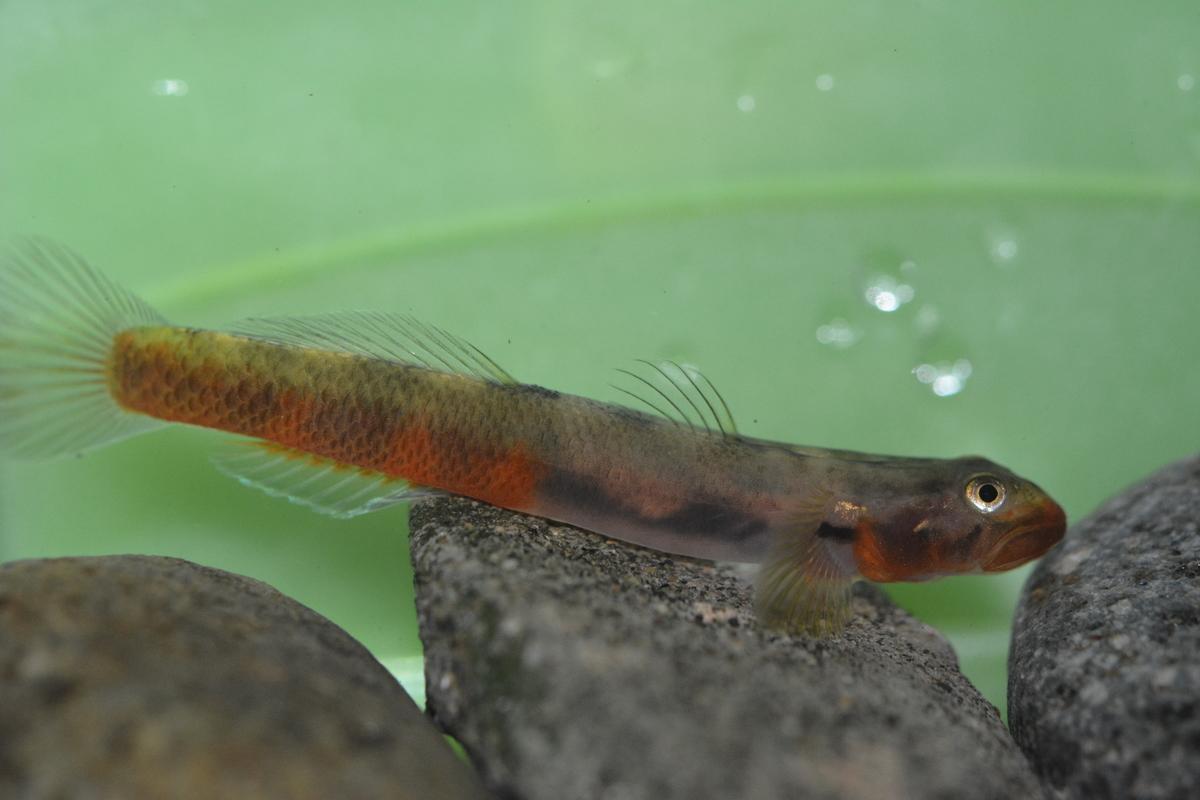 Sicyopus zosterophorum (fish species)