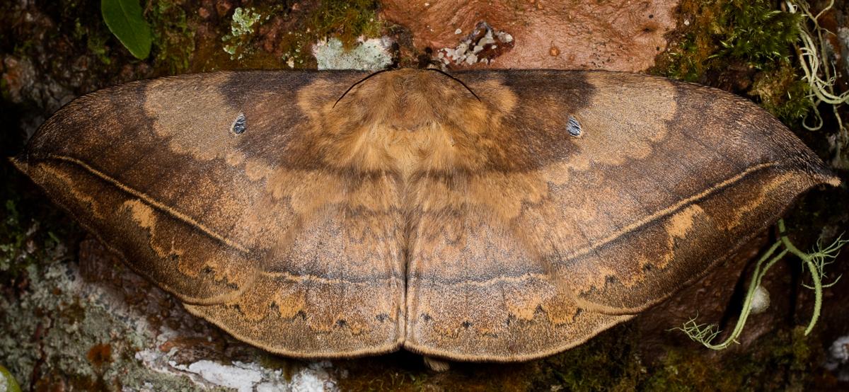Lepidoptera (Butterflies & Moths): Eupterotidae
