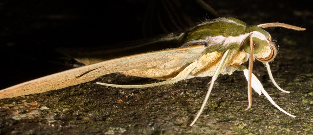 Lepidoptera (Butterflies & Moths): Sphingidae