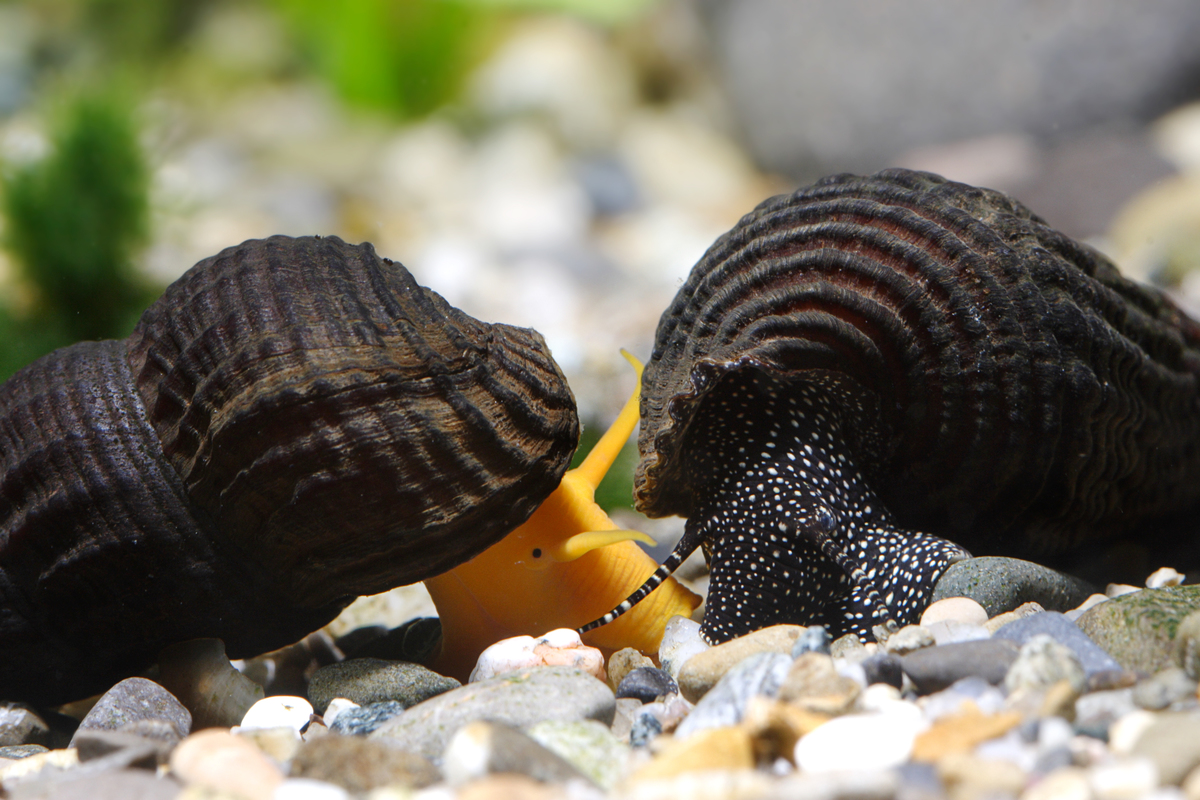 Tylomelania patriarchalis and spec. (snail species, Sulawesi lakes)