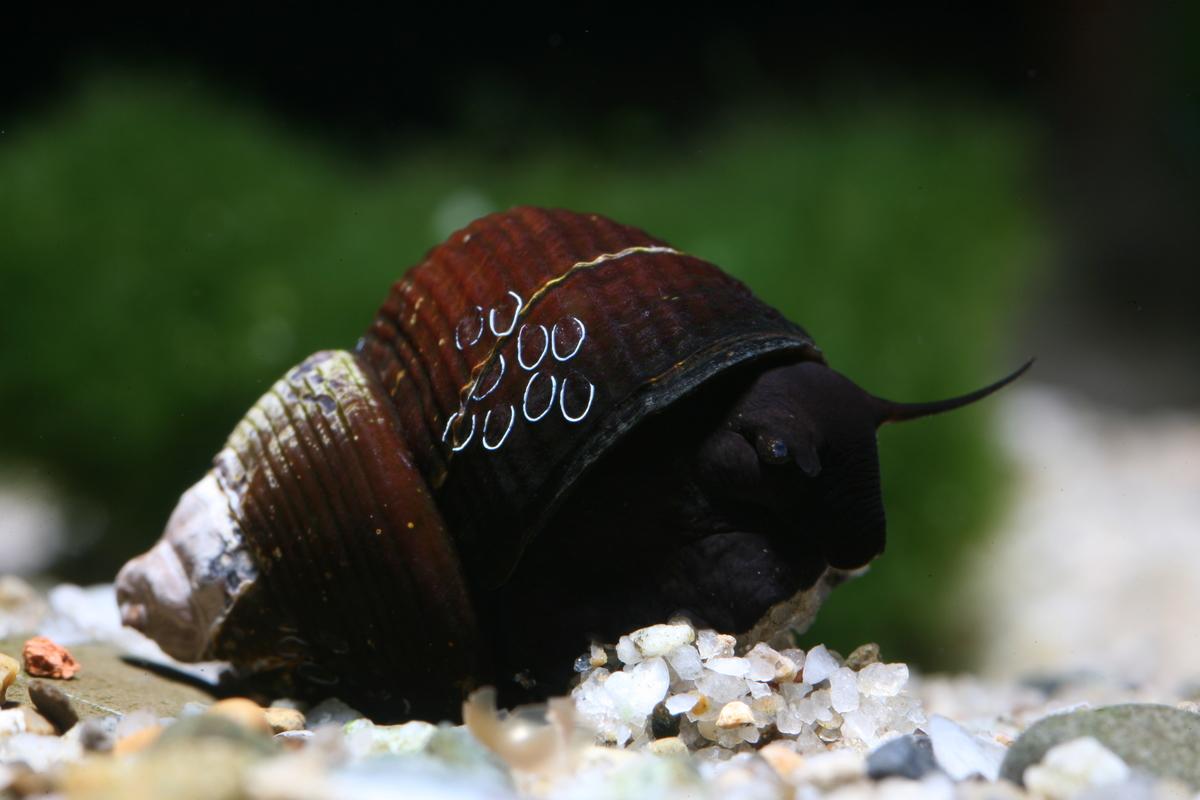 Tylomelania sinabartfeldi (snail species, Sulawesi lakes)