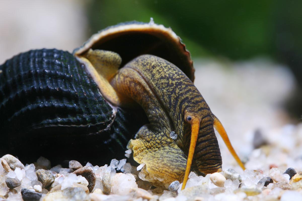 Tylomelania spec. (snail species, Sulawesi lakes)