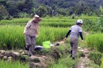 Habitat of Pila scutata (rice fields)