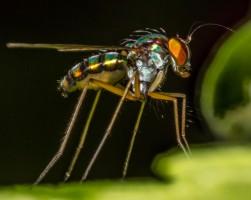 Diptera (True Flies): Dolichopodidae
