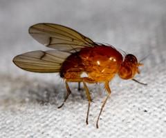 Diptera (True Flies): Lauxaniidae