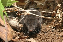 Crocidura brunnea