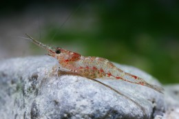 Caridina lanceolata (shrimp species, Sulawesi lakes)