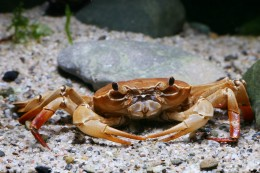 <em>Nautilotelphusa zimmeri</em> (crab species, Sulawesi lakes)