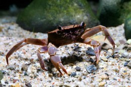 Parathelphusa ferrunginea (crab species, Sulawesi lakes)