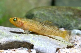 Mugilogobius rexi (fish species, Sulawesi lakes)
