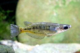 Oryzias sp. (fish species, Sulawesi lakes)