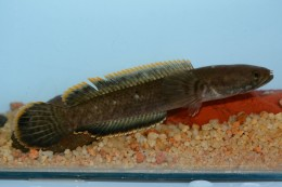 Channa gachua (fish species)