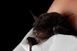 Chiroptera (Bats): Vespertilionidae