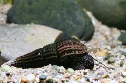Tylomelania patriarchalis (snail species, Sulawesi lakes)