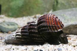 Tylomelania towutica (snail species, Sulawesi lakes)