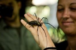 Aranae (Spiders): Nephilidae