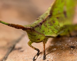 Orthoptera (Grasshoppers & Crickets)
