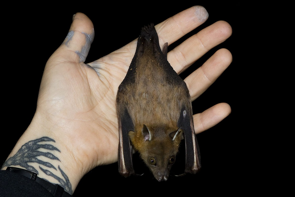Chiroptera (Bats): Pteropodidae