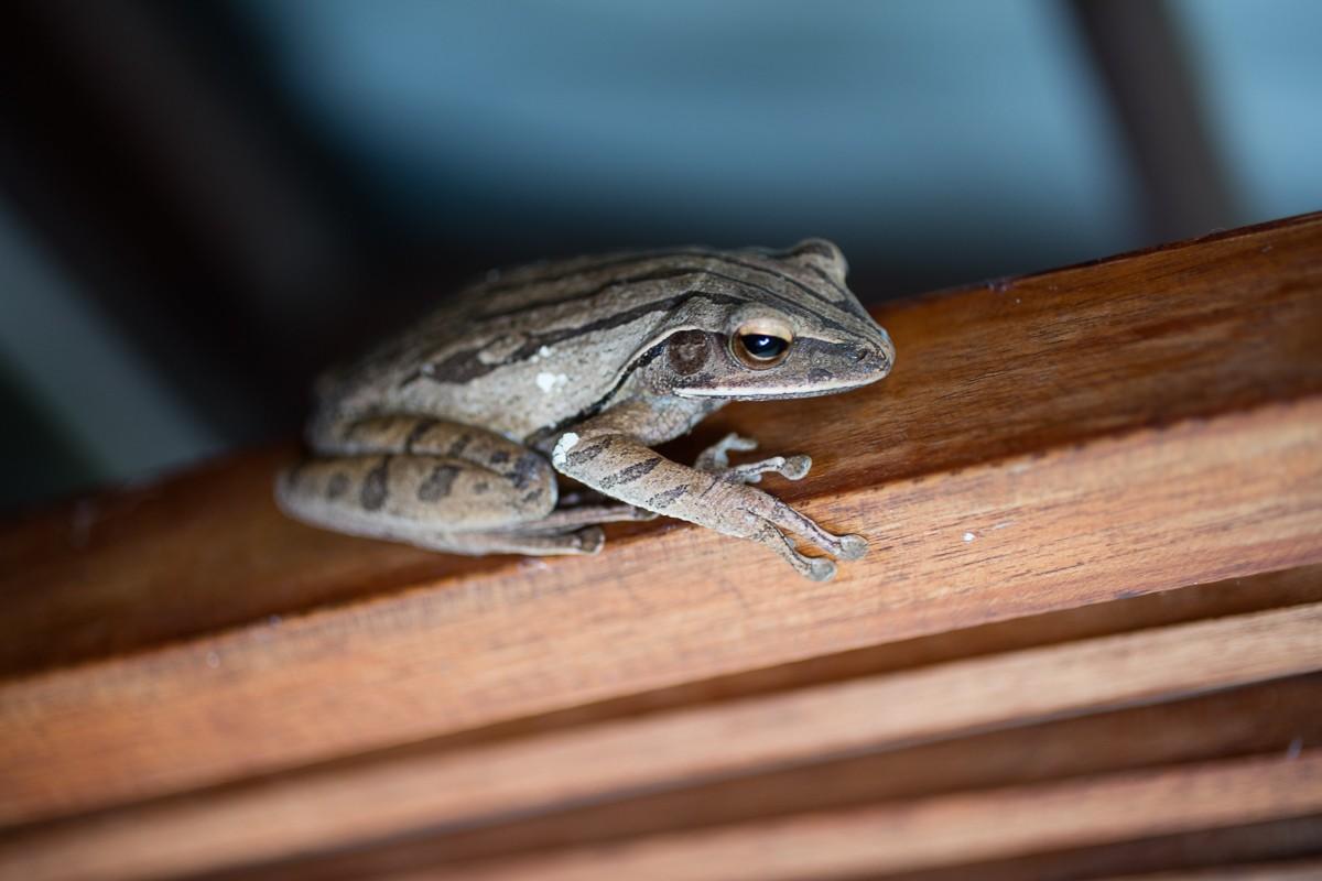 Anura (Frogs): Rhacophoridae