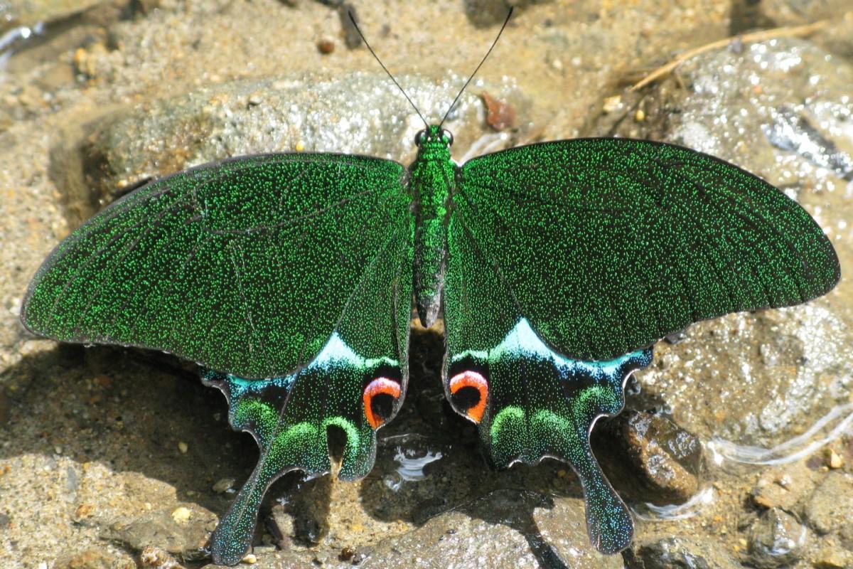 Lepidoptera (Butterflies & Moths)