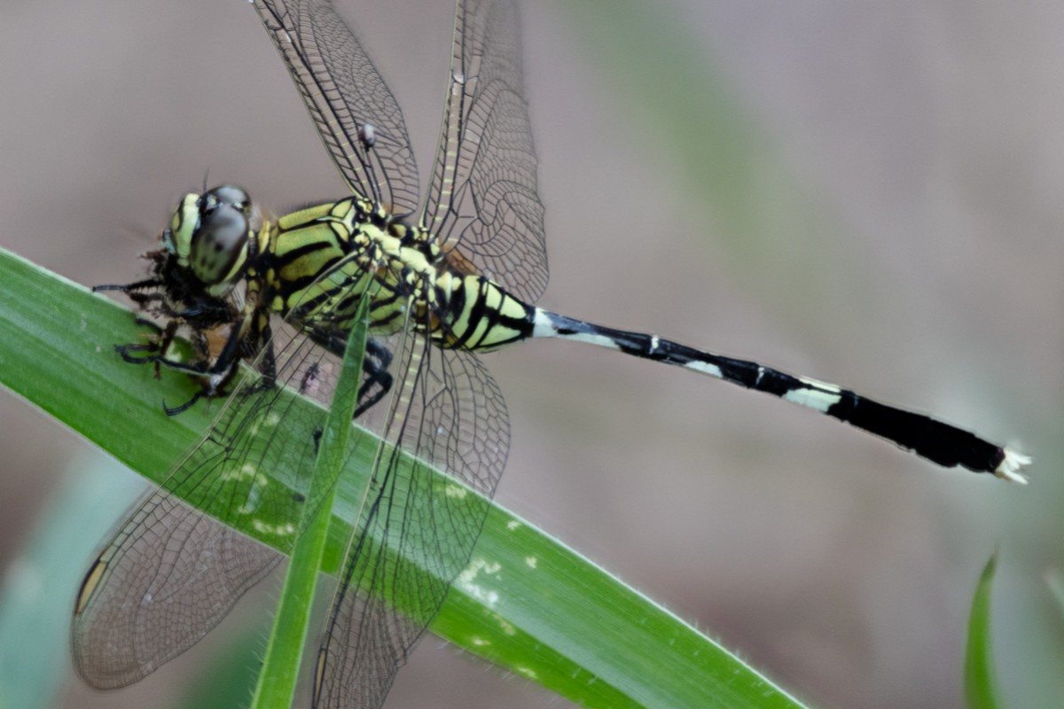 Odonata (Dragon- & Damselflies)
