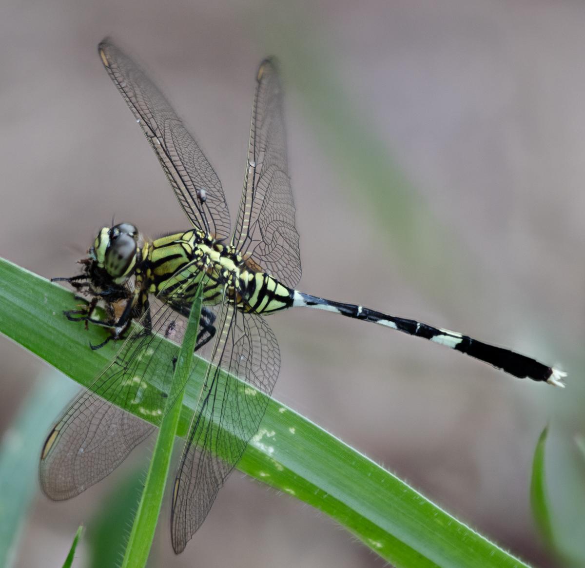 Odonata (Dragon- & Damselflies)